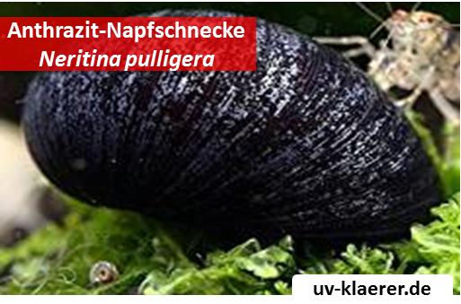 anthrazit napfschnecke neritina pulligera-algenfresser algenmittel algenbekaempfung aquarium ohne chemie