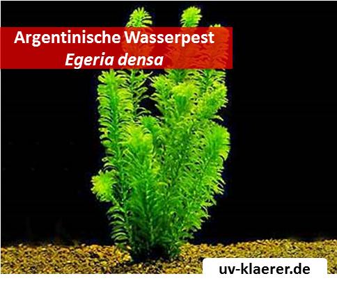 argentinische wasserpest egeria densa algenmittel algenbekaempfung aquarium ohne chemie