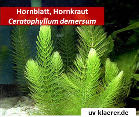 hornblatt hornkraut ceratophyllum demersum algenmittel algenbekaempfung aquarium ohne chemie